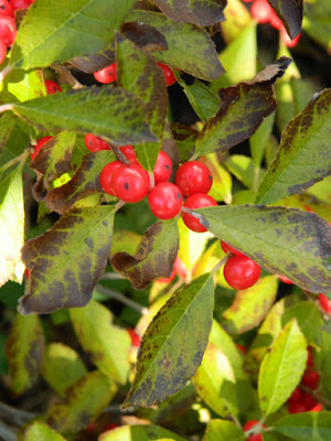 Ilex verticillata Nana Winterberry autumn berries Toronto Botanical Garden by garden muses-not another Toronto gardening blog