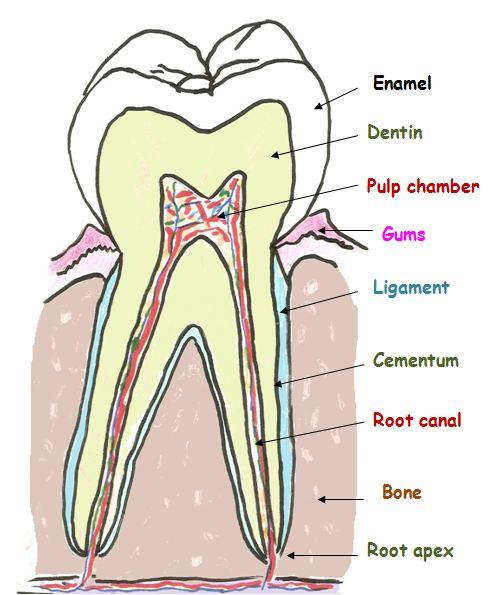 human teeth diagram labeled