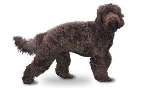 Anjing Ras Barbet