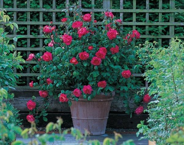 rosal ingles flores rojas en maceta de barro
