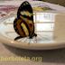 Como fazer um néctar artificial para as Borboletas