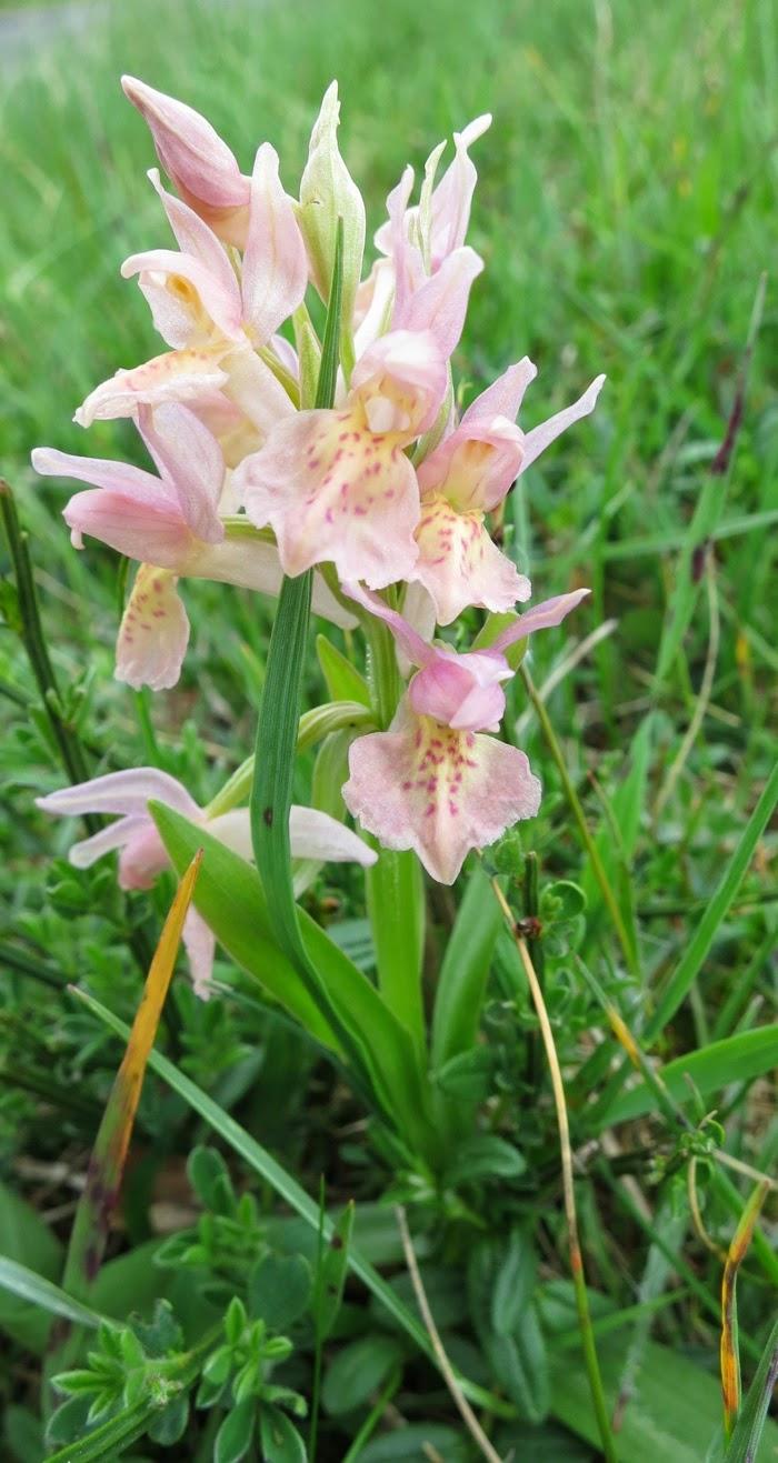 orchis sureau rose