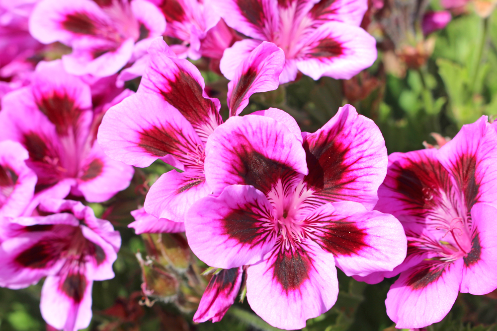 Pink flowers in Puno, Peru - travel blog