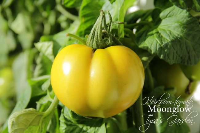 heirloom tomato Moonglow
