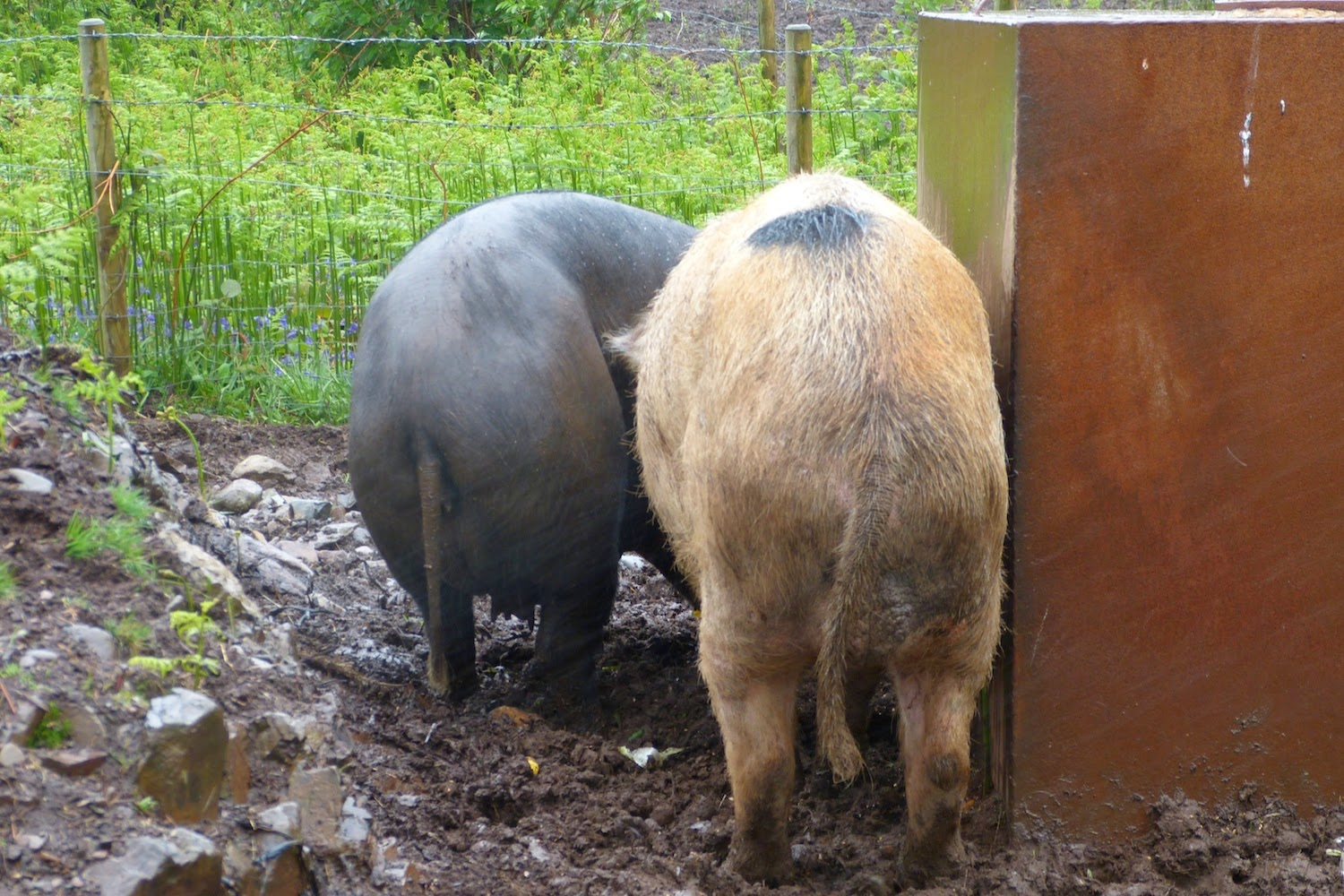 A Kilchoan Diary: Moving the Pigs
