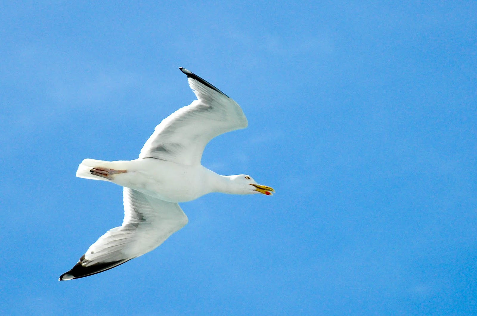 A seagull in flight seen from a DFDS ferry while crossing the English Channel back from France