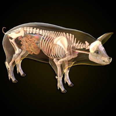 imagens-3d-anatomy-anatomia-veterinaria-veterinary-animal-swine
