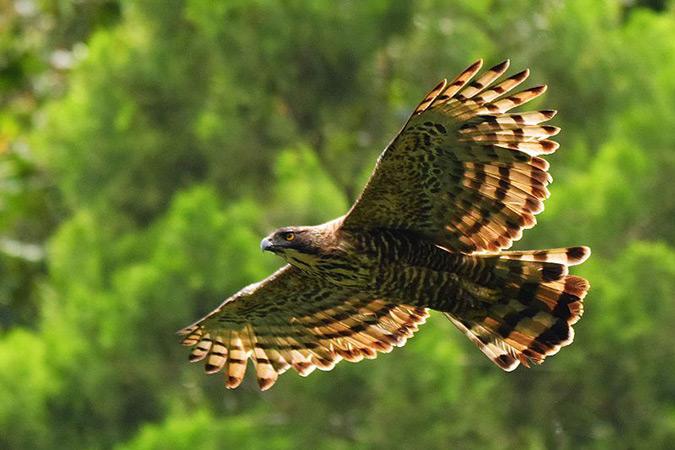 Dlium.com Javan hawk-eagle (Nisaetus bartelsi)