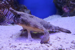 Ogcocephalus sp.