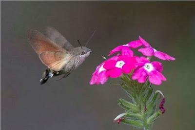 Hummingbird Hawk-Moth - Sekitar Dunia Unik