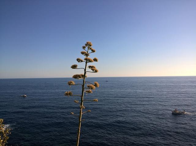 Fioritura Agave a Picco sul Mare