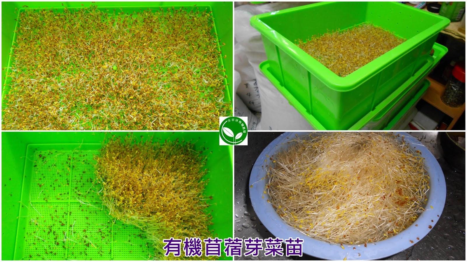 苜蓿芽要洗嗎,紅花苜蓿,紫花苜蓿葉,苜蓿,紫花苜蓿草,苜蓿芽料理,苜蓿芽熱量,苜蓿草種植,苜蓿草,苜蓿芽