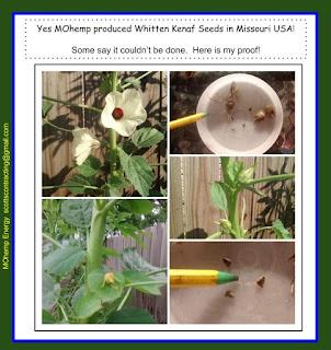 Kenaf Seeds from plants grown in Missouri