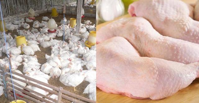 PERINGATAN !! Disuntik dengan Antibioktik, Inilah 7 Fakta Ayam Broiler yang Tak Disadari Berbahaya Bagi Tubuh Kita !!