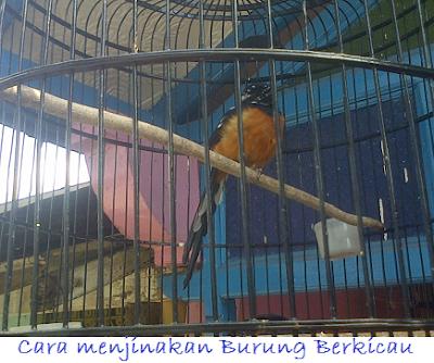 Cara menjinakan Burung Berkicau