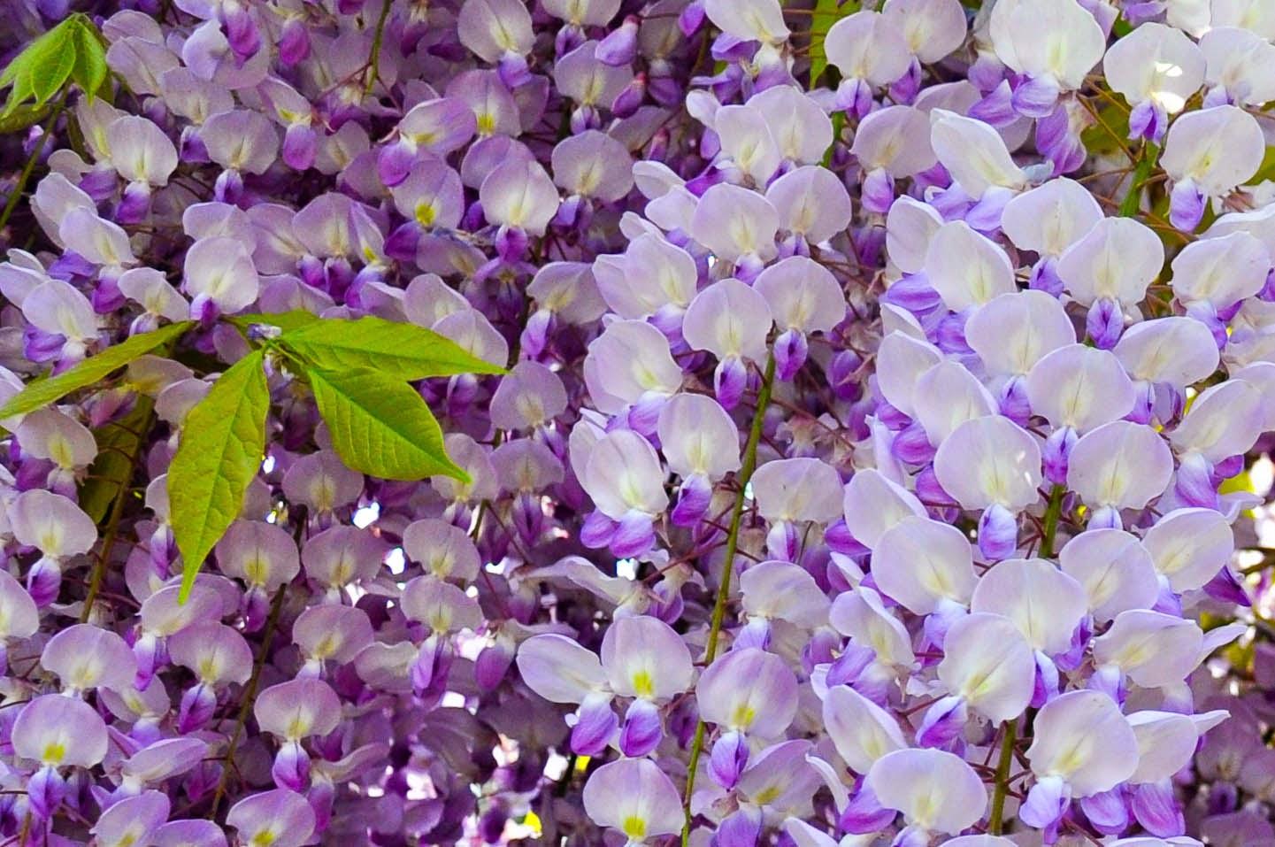 Flowering wisteria, Wisteria in bloom