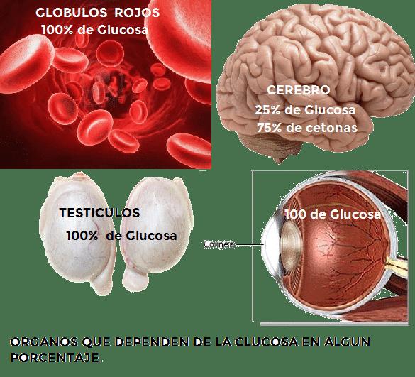 organos-y-glucosa