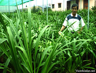 Trang trại Quỳnh Anh trồng lan xanh tốt trên giá thể than trấu