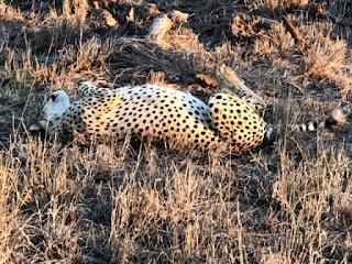 beautiful South African cheetah