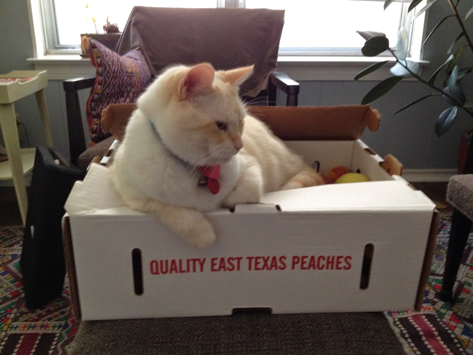 Charlie cat sitting on a box of peaches, hoping they will hatch?