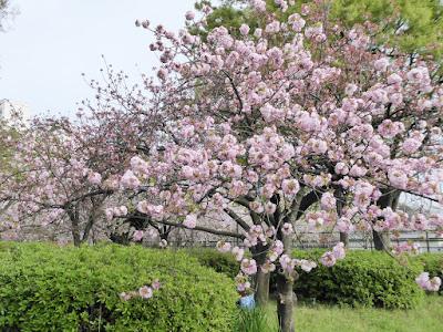 桜之宮公園の桜並木(お花見ウォーキング)