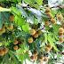 Çınar ağacı ve tohumunun faydaları