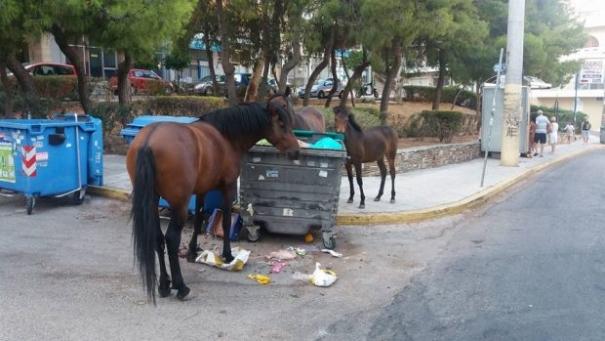 ΑΠΙΣΤΕΥΤΟ: Άγρια άλογα χωρίς τροφή περιφέρονται στον Κορυδαλλό...