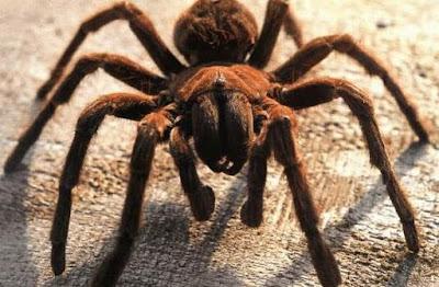 Tehlikeli Örümcek