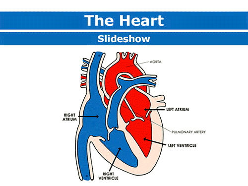 The heart and the circulatory system - information