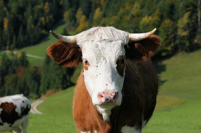 Vache dans son environnement