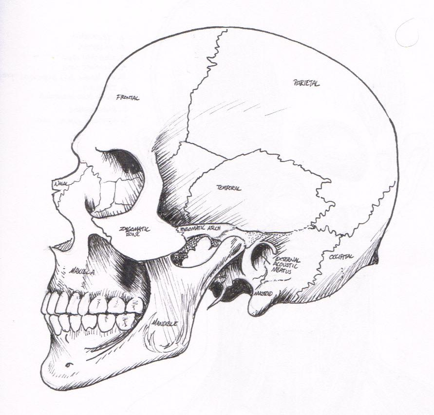 Justin Murdock: Medical Illustration - Skull