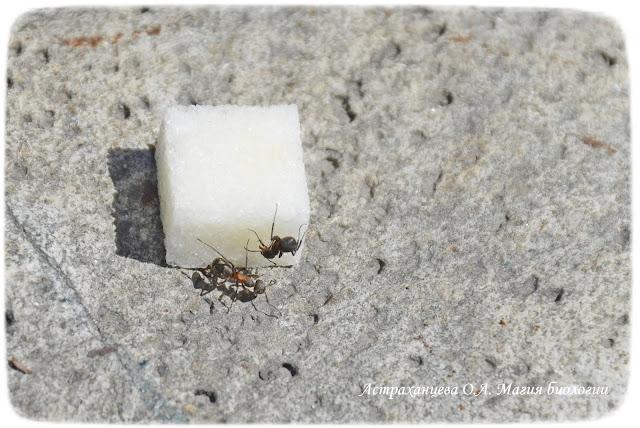 муравьи и кусочек сахара, наблюдения за муравьями