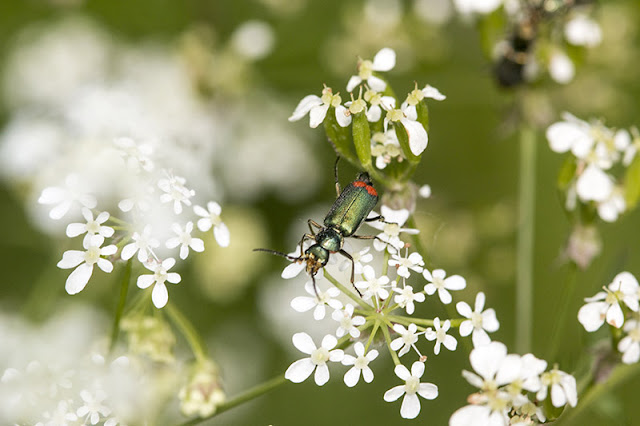 Common Malachite Beetle