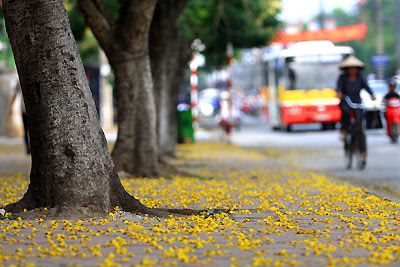 Kết quả hình ảnh cho hoa điệp vàng