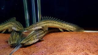 5 Ikan Predator Yang Dapat Di Pelihara Untuk Pemula
