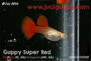 Jual Guppy Super Full Red,  Harga Guppy Super Full Red,  Toko Guppy Super Full Red,  Diskon Guppy Super Full Red,  Beli Guppy Super Full Red,  Review Guppy Super Full Red,  Promo Guppy Super Full Red,  Spesifikasi Guppy Super Full Red,  Guppy Super Full Red Murah,  Guppy Super Full Red Asli,  Guppy Super Full Red Original,  Guppy Super Full Red Jakarta,  Jenis Guppy Super Full Red,  Budidaya Guppy Super Full Red,  Peternak Guppy Super Full Red,  Cara Merawat Guppy Super Full Red,  Tips Merawat Guppy Super Full Red,  Bagaimana cara merawat Guppy Super Full Red,  Bagaimana mengobati Guppy Super Full Red,  Ciri-Ciri Hamil Guppy Super Full Red,  Kandang Guppy Super Full Red,  Ternak Guppy Super Full Red,  Makanan Guppy Super Full Red,  Guppy Super Full Red Termahal,  Adopsi Guppy Super Full Red,  Jual Cepat Guppy Super Full Red,  Kreatif Guppy Super Full Red,  Desain Guppy Super Full Red,  Order Guppy Super Full Red,  Kado Guppy Super Full Red,  Cara Buat Guppy Super Full Red,  Pesan Guppy Super Full Red,  Wisuda Guppy Super Full Red,  Ultah Guppy Super Full Red,  Nikah Guppy Super Full Red,  Wedding Guppy Super Full Red,  Flanel Guppy Super Full Red,  Special Guppy Super Full Red,  Suprise Guppy Super Full Red,  Anniversary Guppy Super Full Red,  Moment Guppy Super Full Red,  Istimewa  Guppy Super Full Red,  Kasih Sayang  Guppy Super Full Red,  Valentine  Guppy Super Full Red,  Tersayang Guppy Super Full Red,  Unik Guppy Super Full Red,