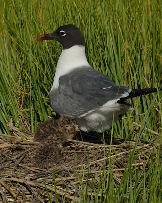 Laughing Gull on nest with young © Michael Kilpatrick