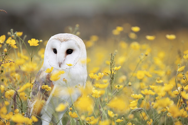 Wildflower meadow: Barn Owl nesting boxes, sites & habitat.
