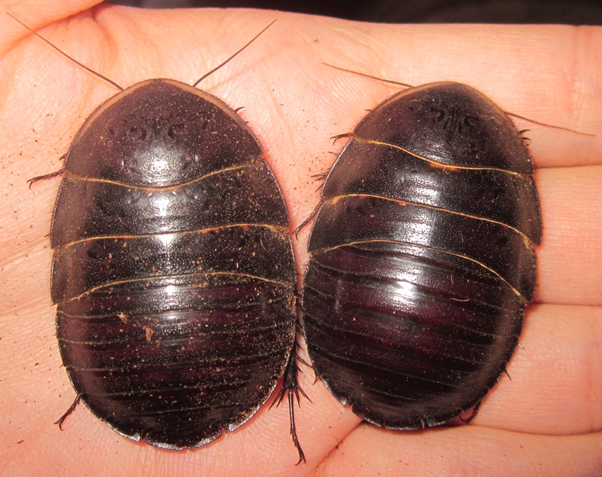 Hisserdude's Roaches - Page 2 PolySauss%25233