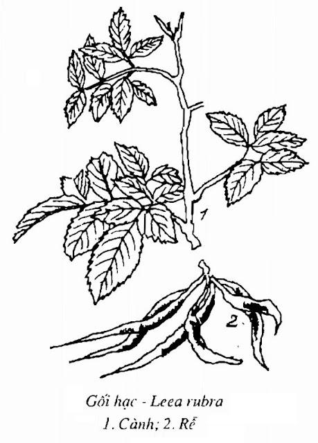 Hình vẽ Cây Gối Hạc - Leea rubra - Nguyên liệu làm thuốc Chữa Tê Thấp và Đau Nhức