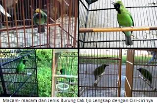 Macam- macam dan Jenis Burung Cak Ijo Lengkap dengan Ciri-cirinya