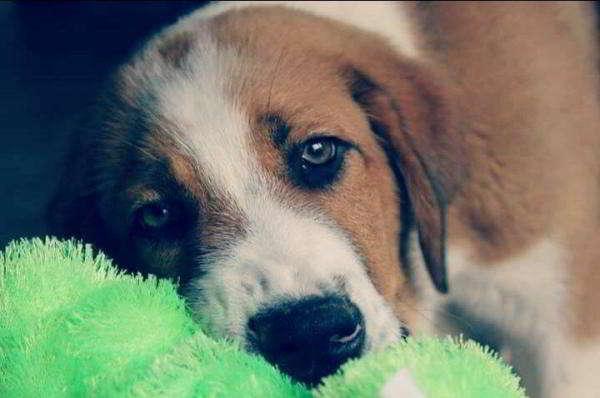 cachorro cruce san bernardo