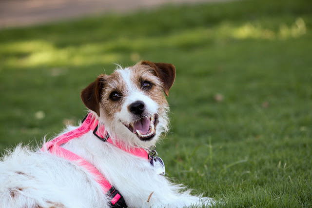 A happy Terrier wears a pink harness and lounges on the grass