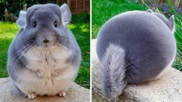 A Ridiculously Fluffy Chinchilla