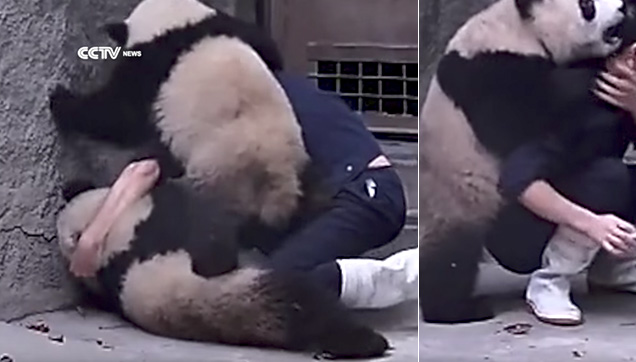 Photo of Pandas wrestling a Zookeeper.
