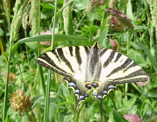 Bolboreta Iphiclides podalirius