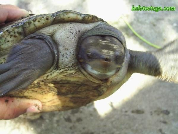 Dermatemys mawii - Tortuga de río centroamericana