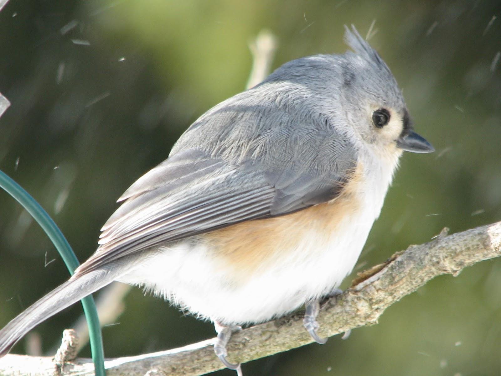 south burlington birds tufted titmouse photos south burlington