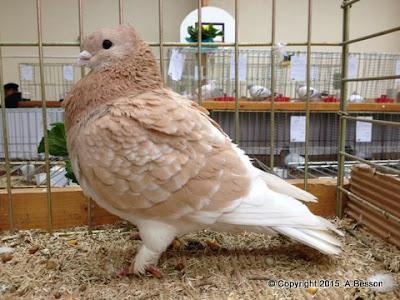 Einfarbige Luzerner Taube