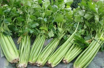 gambar daun seledri untuk dibuat jus